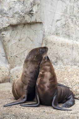 Cute sea lions resting on rocks outdoors