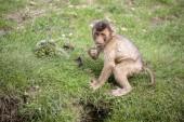 Jižní prasečí sledoval macaque sedí na zelené trávě
