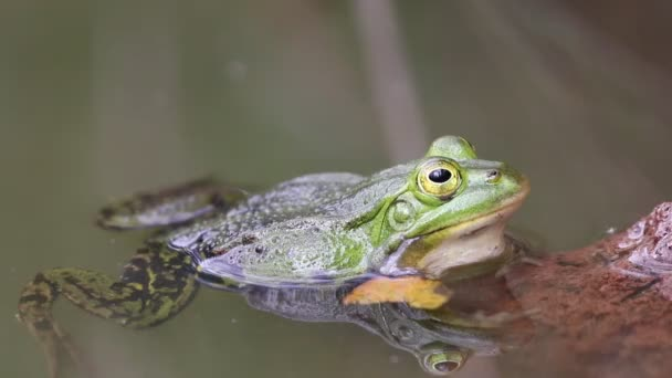 Pelophylax lessonae, malá zelená žába odpočívající v rybníce.
