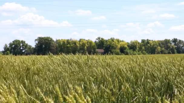 Vidéki jelenet a búza mező és a ház között fák a távolban homályos háttérrel. A búza fülei ringatóznak a szélben. Sekély fókusz.