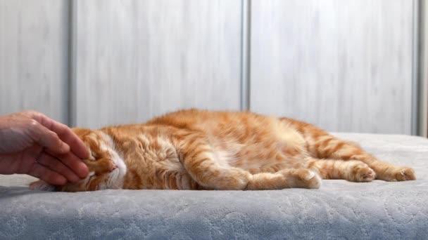 Egy vörös macska alszik az ágyon, és egy emberi kéz simogatja. Sekély fókusz.