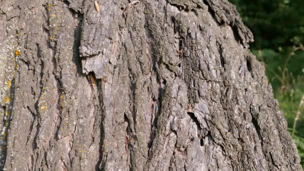 Kolonie mravenců chodí nahoru a dolů po stromové kůře. Mravenčí cesta na stromě