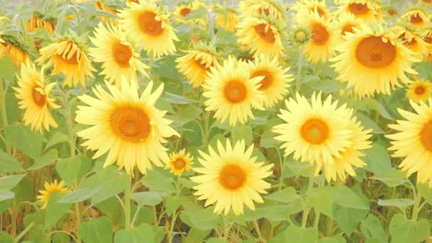 Pole světlých slunečnic za slunečného dne.