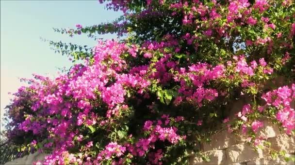 Velký keř Bougainvillea rostoucí na středomořském parkovišti v Andalusii