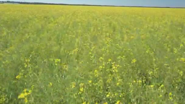 Flying over the green field with yellow flowers