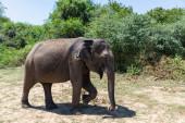 Photo Close up of elephant in a Udawalawe National Park of Sri Lanka