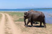 Photo Close up of elephants in a Udawalawe National Park of Sri Lanka