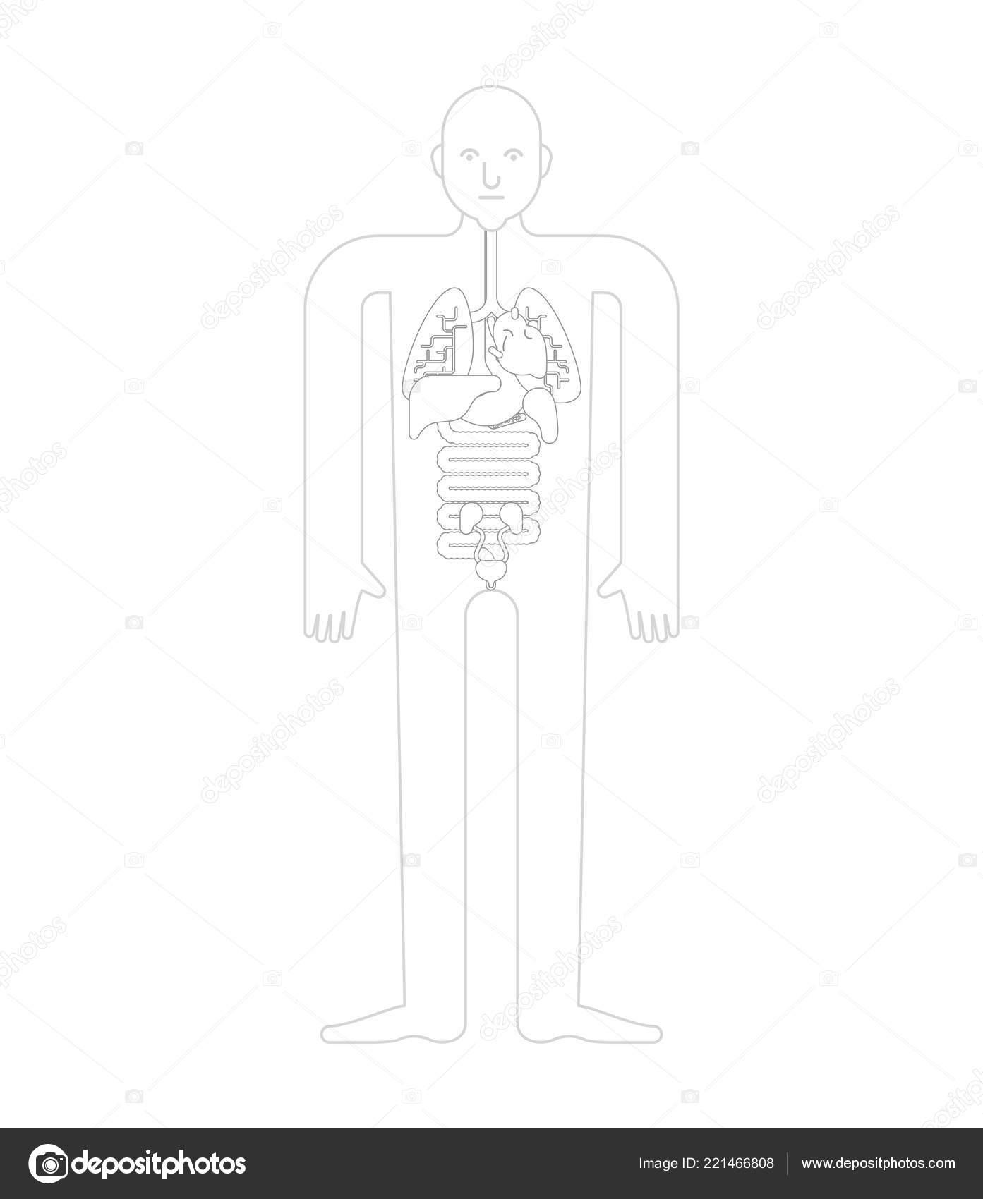Human Anatomy Organs Template Systems Man Body Organs Medical