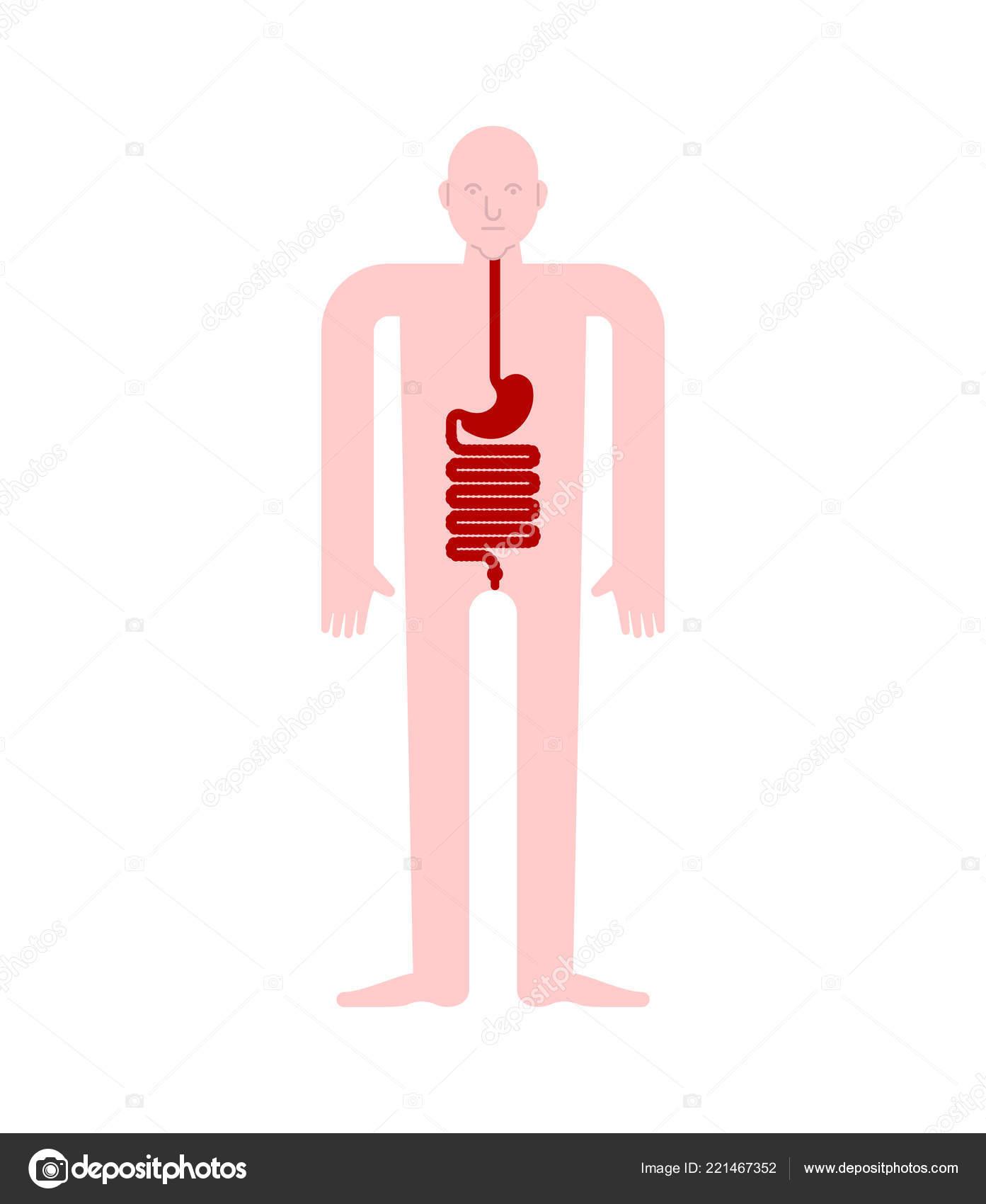 Stomach Esophagus Rectum Human Anatomy Gastrointestinal Tract