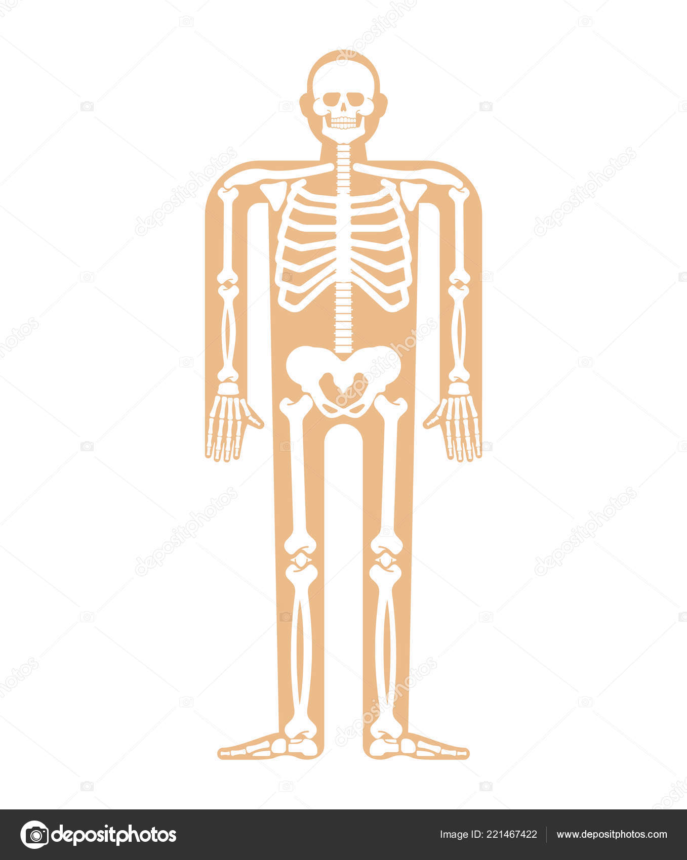 Skeleton Anatomy Human Skeletal System Cross Section Bones Skull