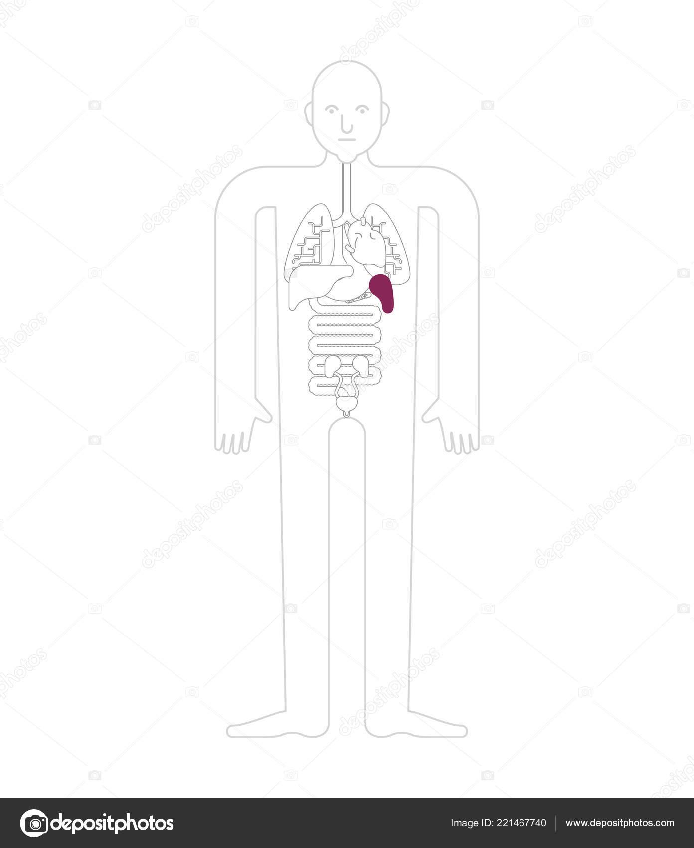 Spleen Human Anatomy Gastrointestinal Tract Internal Organs Systems