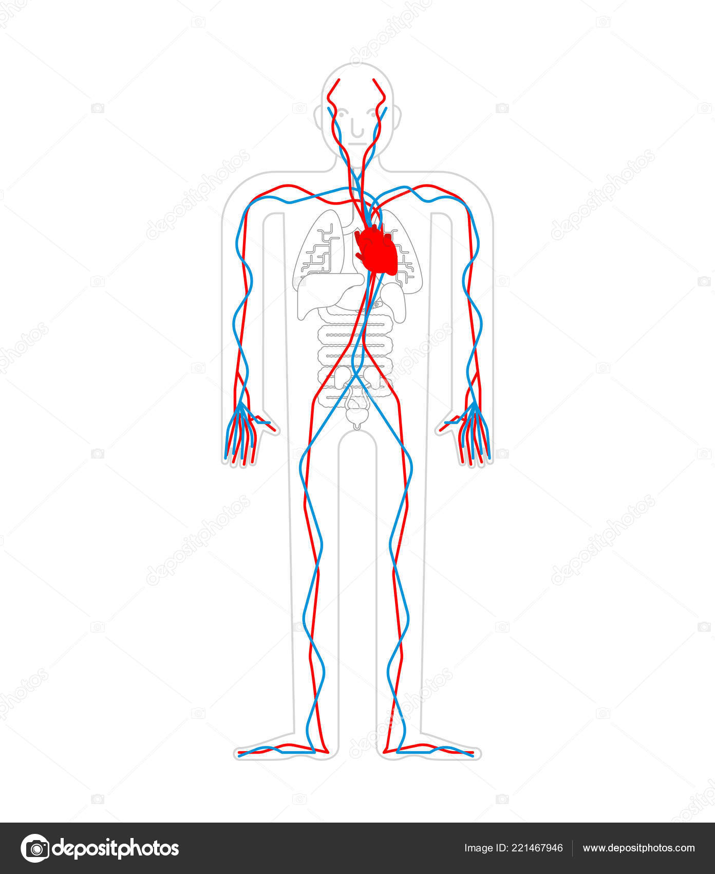 Circulatory System Heart Blood Vessels Aorta Artery Human Anatomy