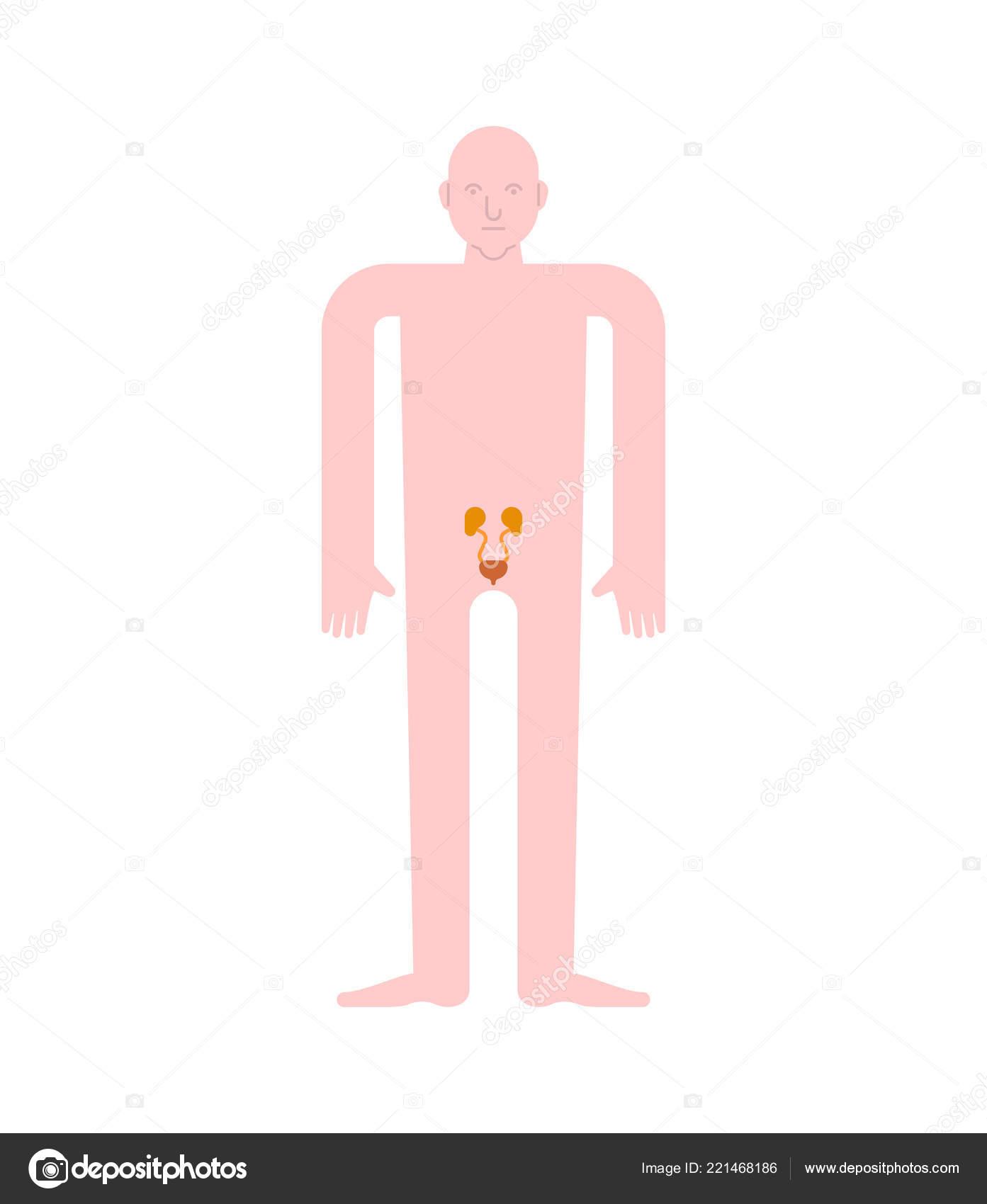 Kidney Bladder Human Anatomy Gastrointestinal Tract Internal Organs