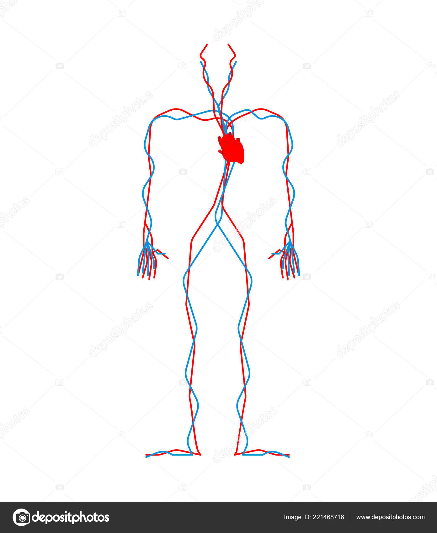 Circulatory System Heart Blood Vessels Aorta Artery Human Anatomy