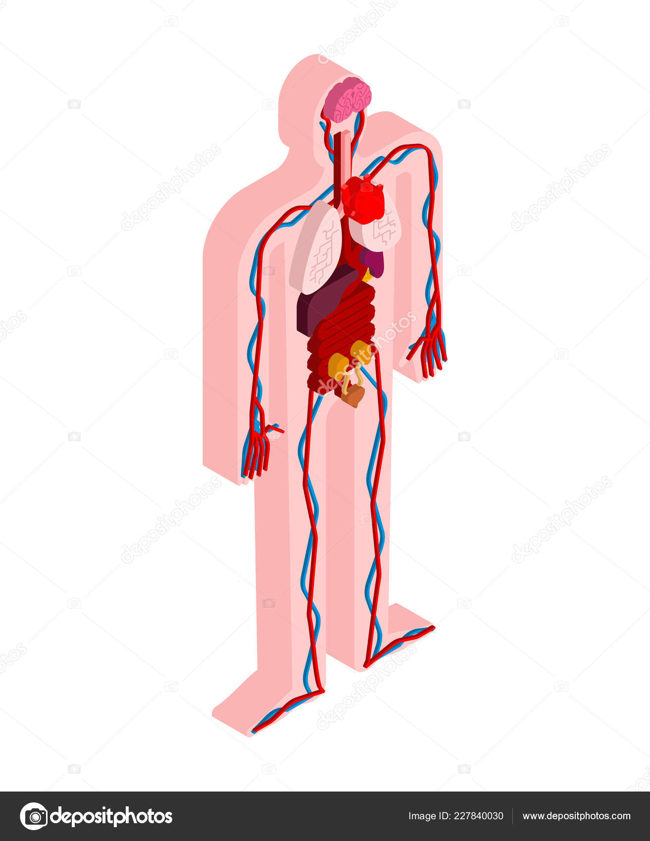 Human Anatomy Body Isometric Internal Organs Organ Systems Body