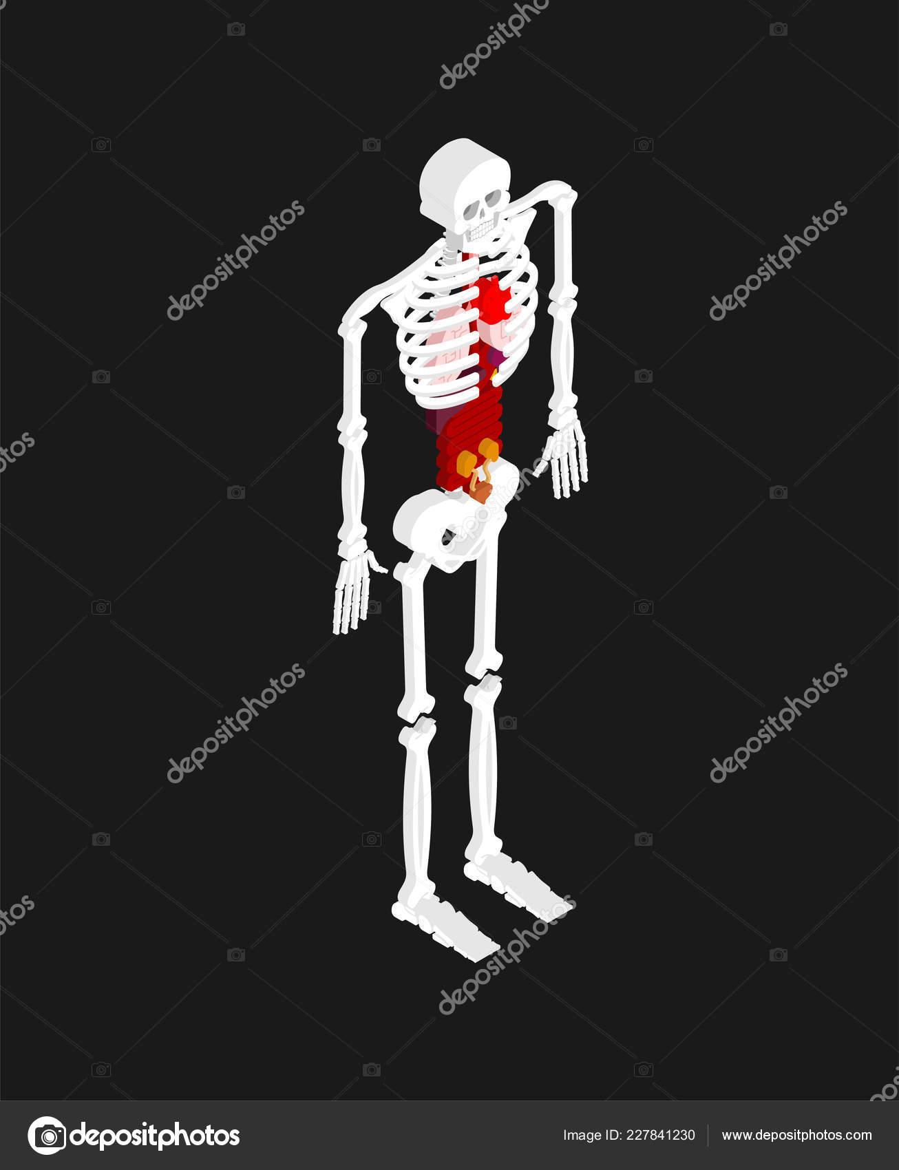 Human Anatomy Isometric Skeleton Internal Organs Organ