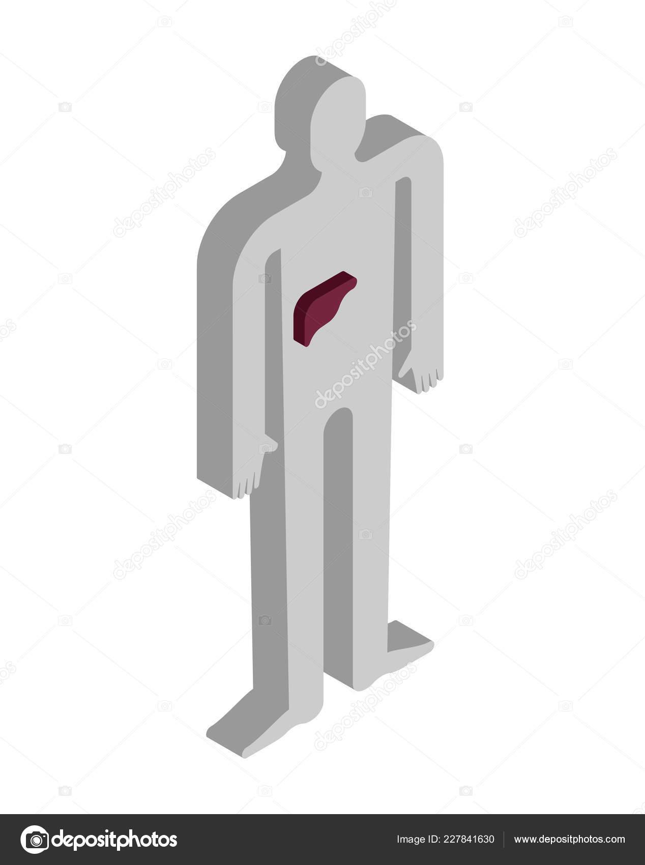 Leber Isometrische Anatomie Des Menschlichen Krpers Inneren Organe