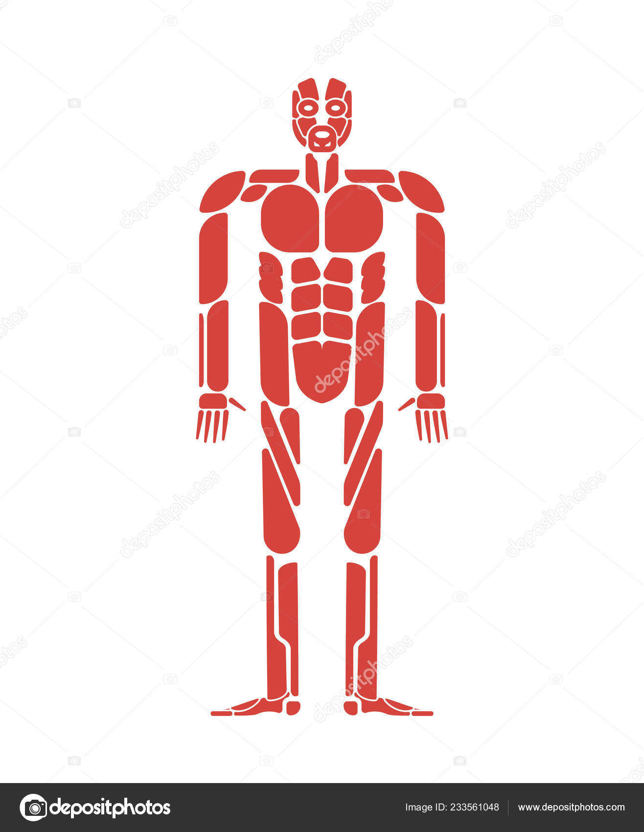 Muscles System Human Body System Muscular Anatomy Stock Vector