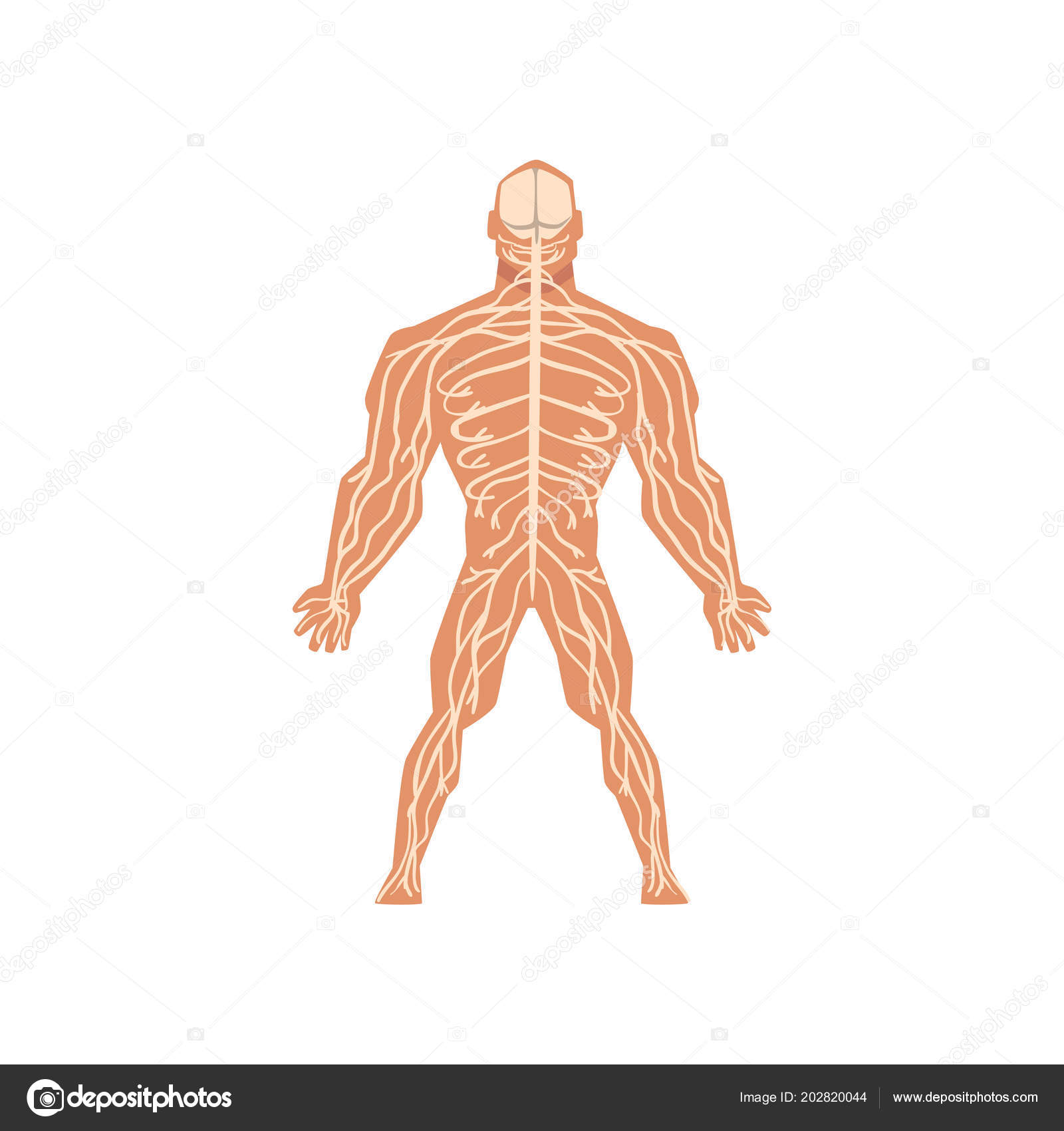 Human Biological Nervous System Anatomy Of Human Body Vector