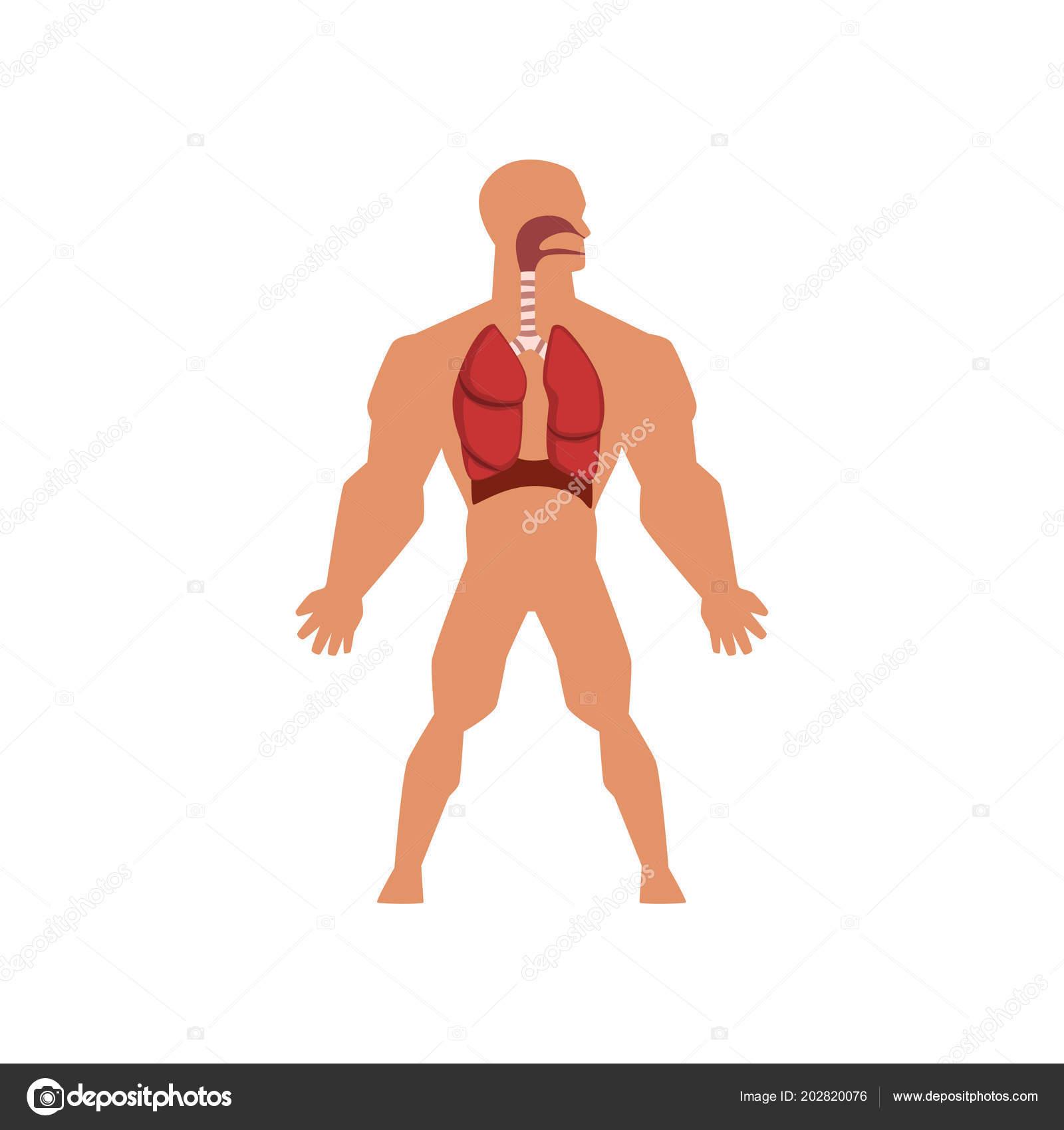 Human Biological Respiratory System Anatomy Of Human Body Vector
