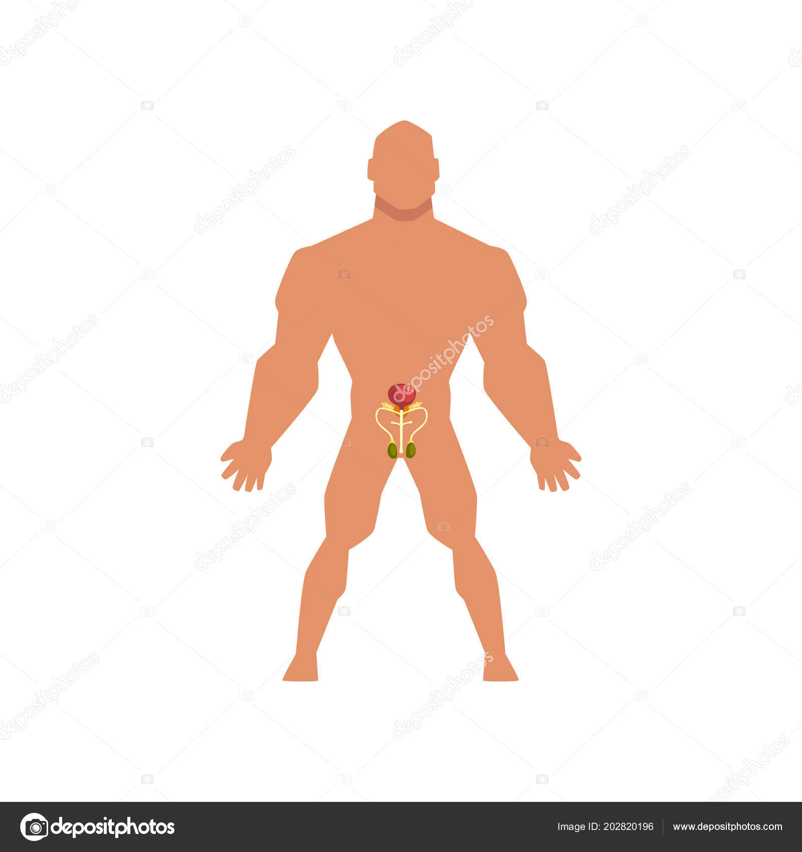 Male biological sexual system, anatomy of human body vector ...