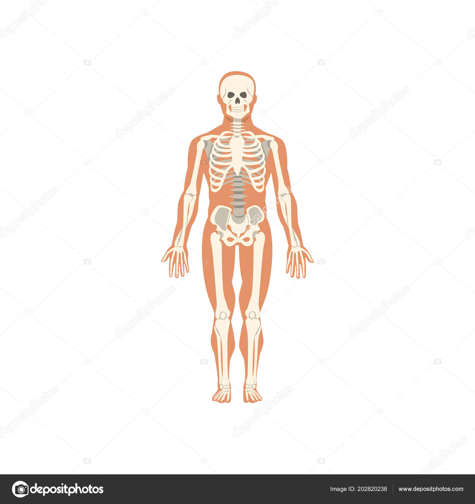 Human skeletal system anatomy of human body vector illustration on human skeletal system anatomy of human body vector illustration on a white background vetores ccuart Choice Image