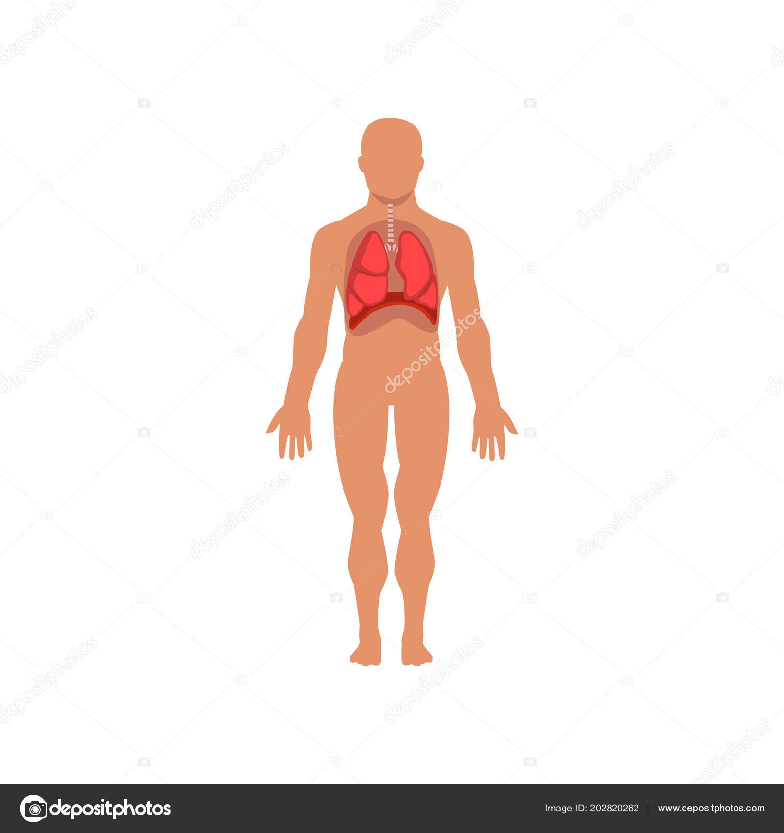 Menschlichen Atemwege, Anatomie des menschlichen Körpers Vektor ...