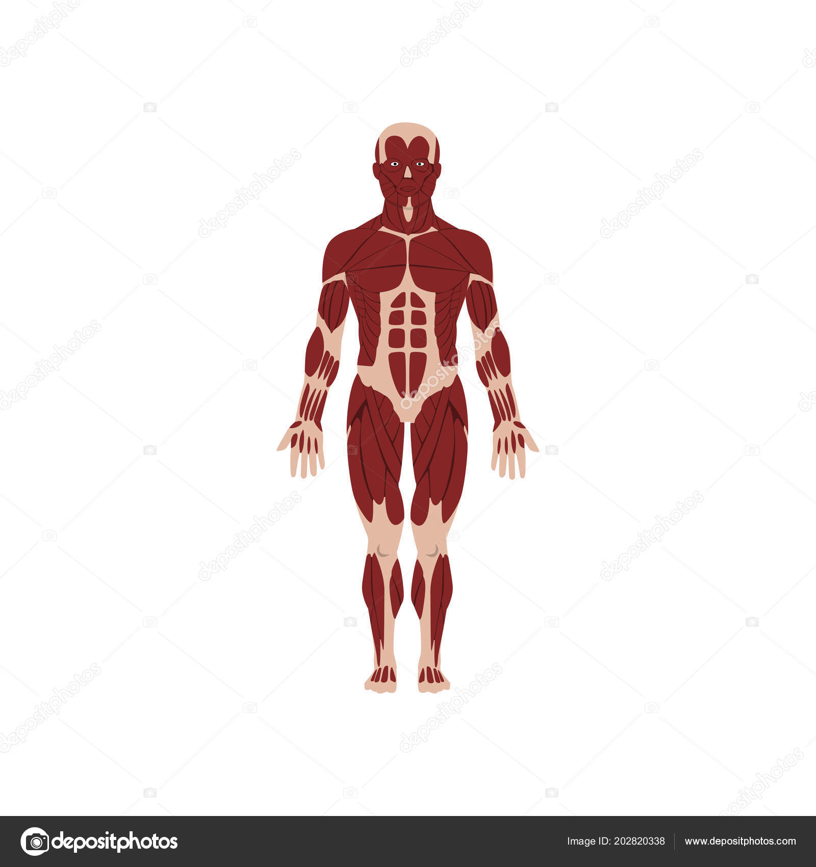 Human Skeletal System Anatomy Of Human Body Vector Illustration On