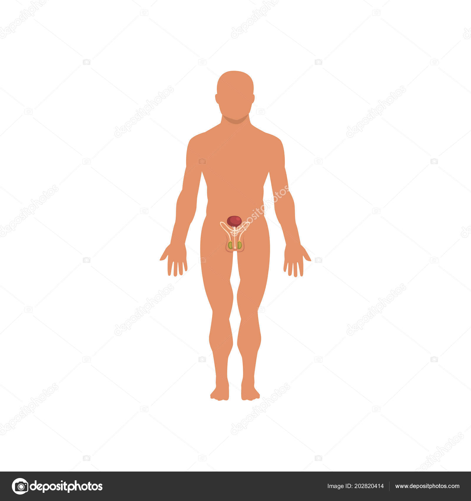 Male sexual system, anatomy of human body vector Illustration on a ...