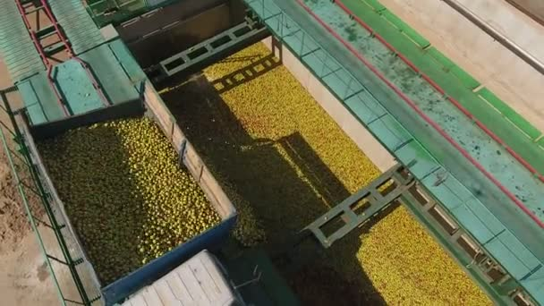 Top view of Tractor dumps apples into storage