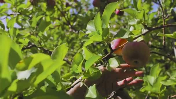 Hand picking apple from fruit tree branch in orchard