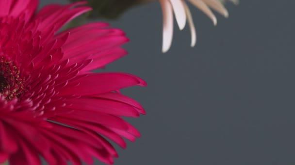 Makro záběr červené sedmikrásky - gerbera květ