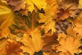 Fotografie Autumn maple yellow leaves background
