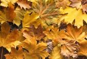 Podzimní pozadí žluté listy javoru