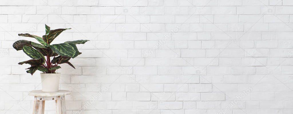 Maranta houseplant on chair over white brick wall