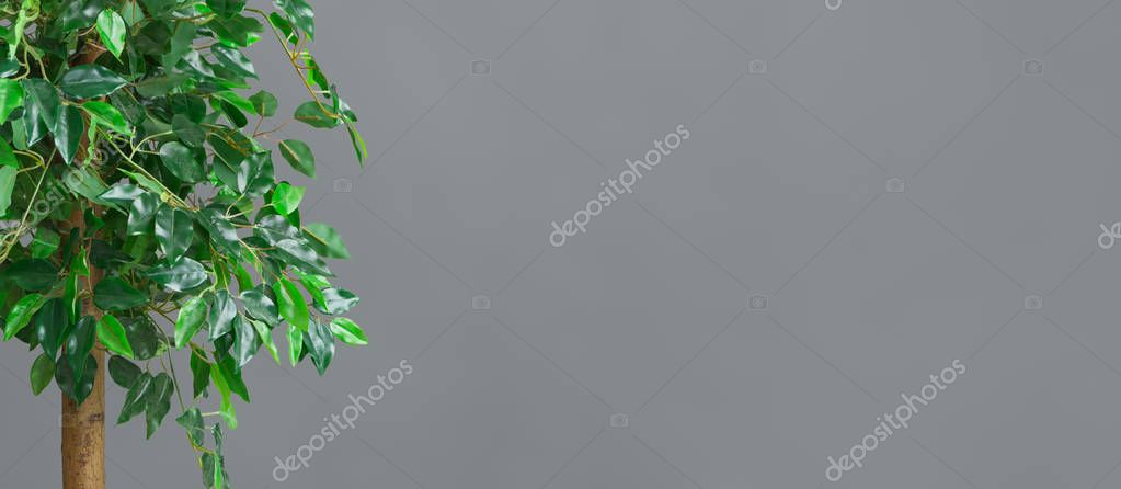 Green ficus tree over grey background, empty space