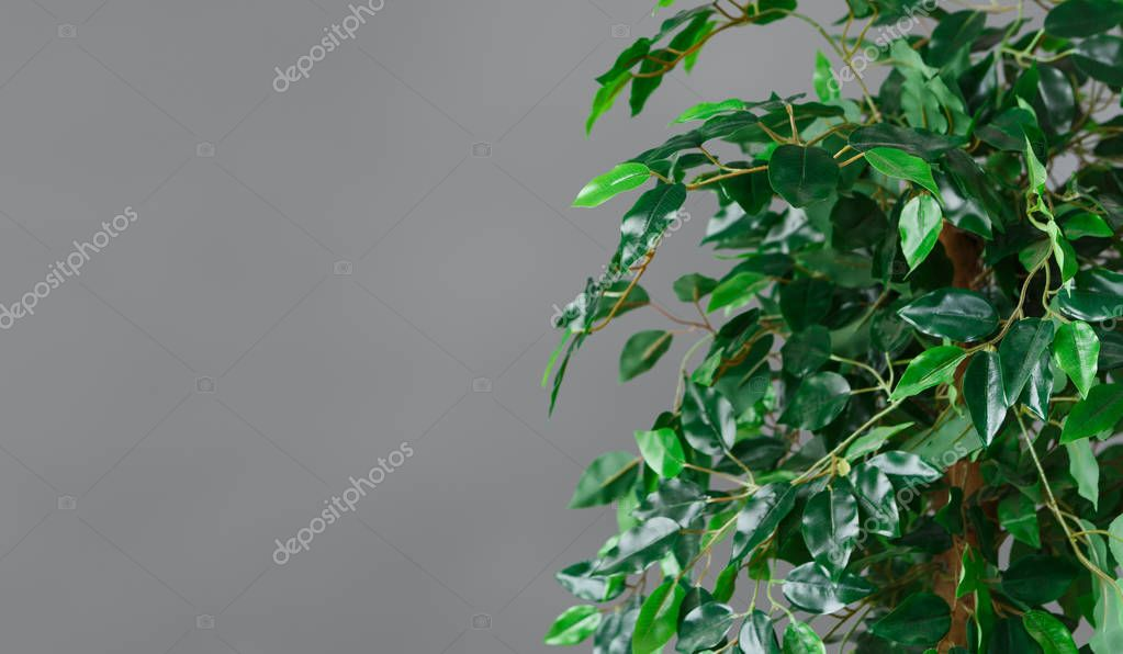 Ficus tree krone, copy space