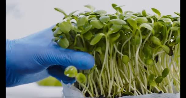 Šéfkuchař odstraňuje čerstvé užitečné rostliny s nůžkami v kuchyni