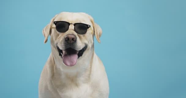 Cooler Labrador mit Sonnenbrille posiert auf blauem Studiohintergrund