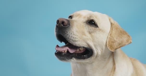 Porträt des niedlichen Labrador-Hundes, der im wartenden, blauen Studiohintergrund zur Seite schaut