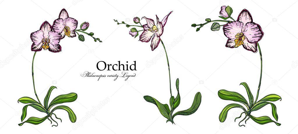 Bright floral Orchid elements for design. Botanical illustration
