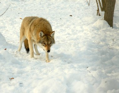 The she-wolf came for hunting in the winter forest