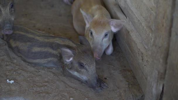 Lustige Schweine namens Sergey schnüffeln Bodenbewirtschaftungskonzept. Schwein auf einem alten Bauernhof