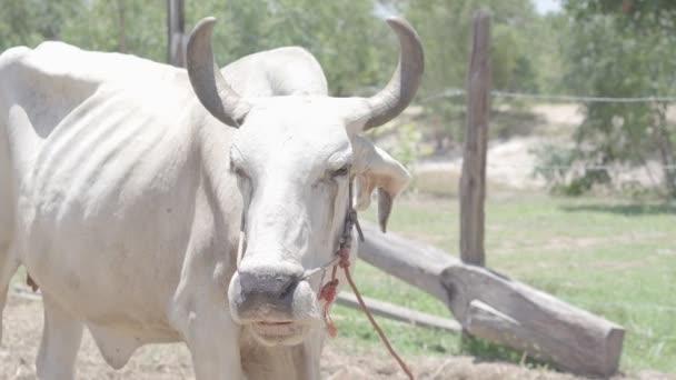 Thailändische Kühe ruhen auf einem Feld