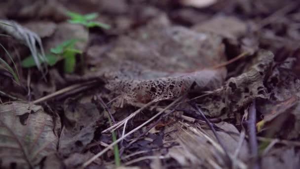 Egy fényes száraz levél fekszik a lehullott levelek és a fű között az erdőben. Száraz stump szoros-up.4k,24fps.