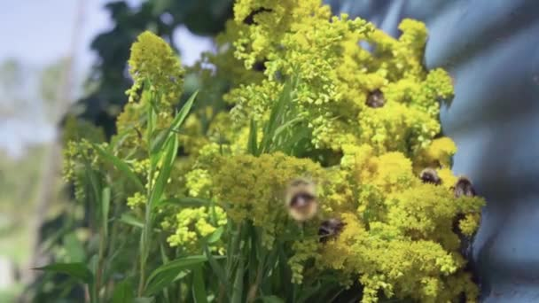 eine Honigbiene, eine Hummel sammelt Nektar aus Löwenzahn, gelben Blüten in einem sonnigen Herbsttag langsam flying.1080p,30fps