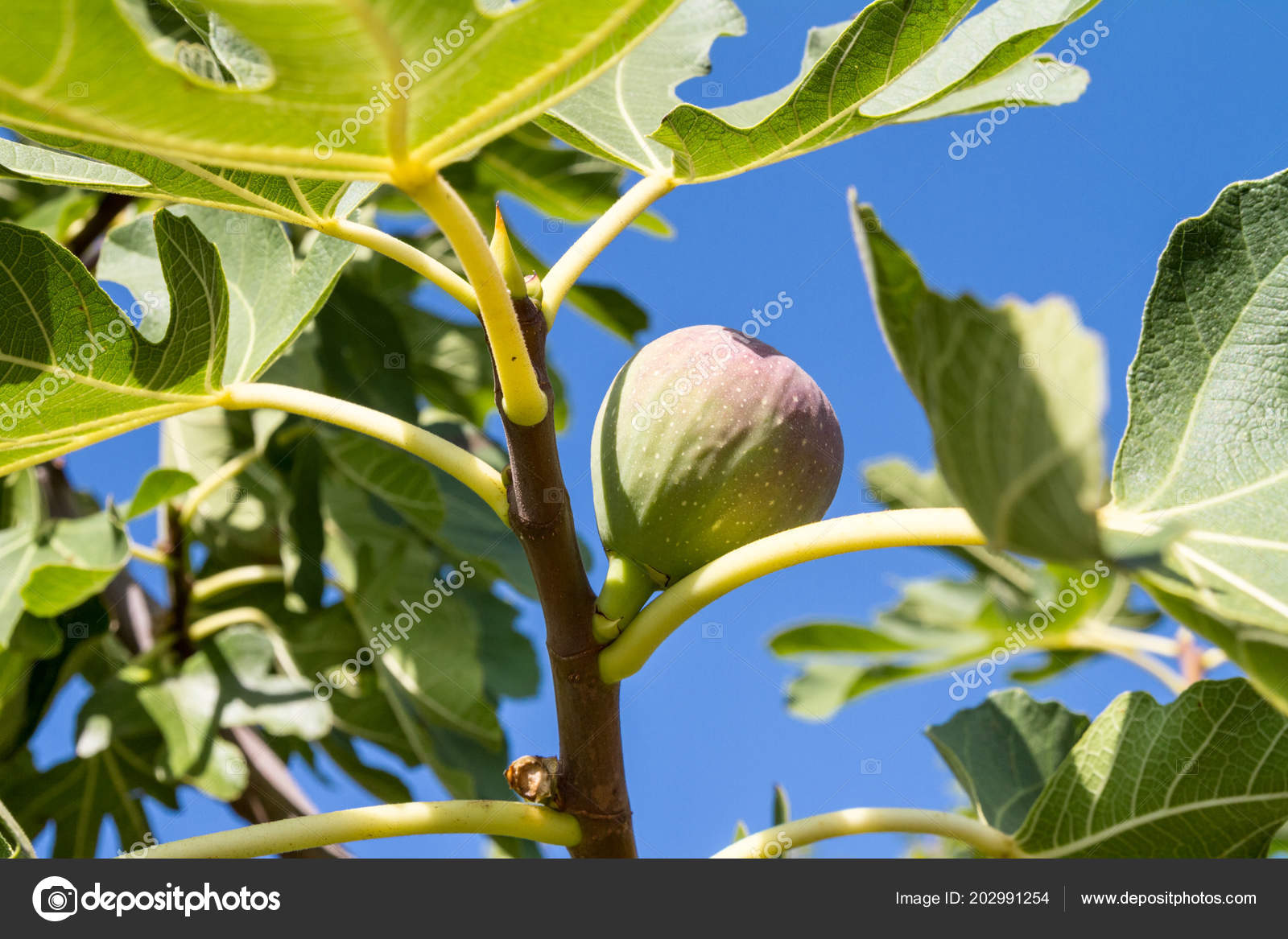 Fig Tree Ficus Carica Fruit Hangs Branch Sunny Day Close Stockfoto