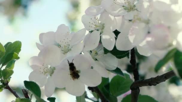 Zpomalené záběry. Včela, létající sbírat pyl z květů