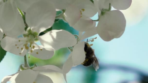 Slow motion footage. Bee flying collecting pollen from flowers