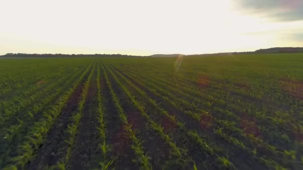 4K Aerial drone footage. Fly over field at sunset.